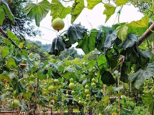 葫芦种植基地